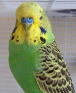 budgerigar-parakeet