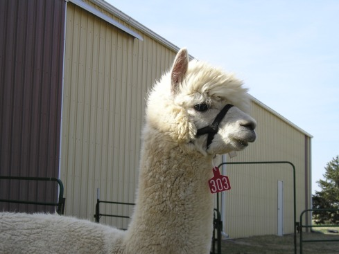 alpaca Avalon_3
