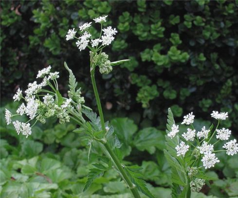 "Cow parsley, via <a href=""http://en.wikipedia.org/wiki/File:Anthriscus_sylvestris_Fluitenkruidbloemen.jpg"">Wikipedia</a>"