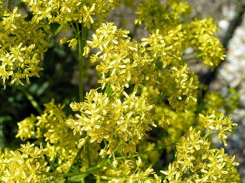 woad flowers